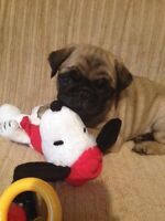 Male pug puppy wanted now or near future breeding