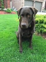 Adorable chocolate lab for sale