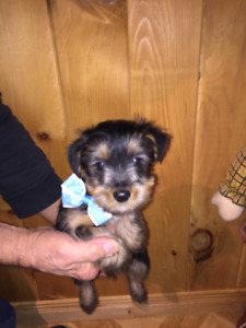 Yorkshire Male chiot