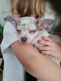 Pure tiny lilac merle chihuahua