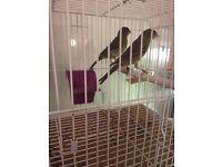 Timbrado canaries