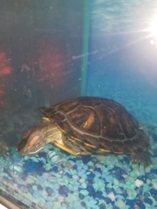 1yr old turtle for sale
