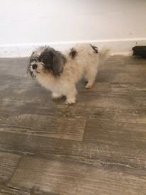 Malteser Cross Poodle