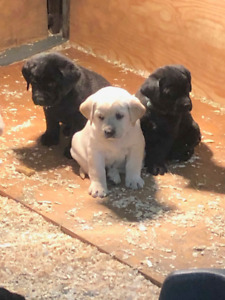 Lab Puppies CKC Registered Black and Yellow