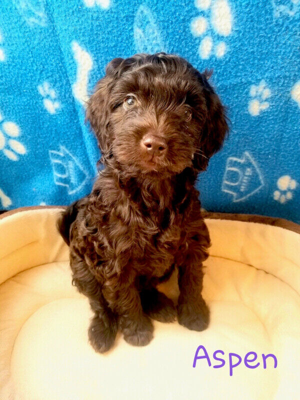 Beautiful Mini Double Doodle Puppies Dogs Puppies For