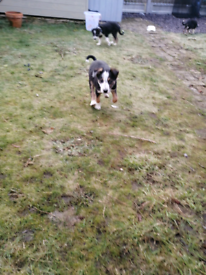 Border Collie Puppies *Stunning*
