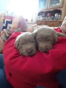 Purebred silver labs puppies
