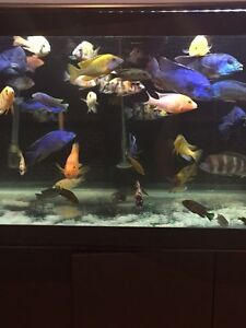 African cichlids all types