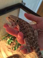 Cute bébé dragon barbu à vendre allo