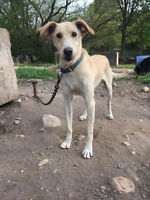 Blind Sled Dog needs a loving home