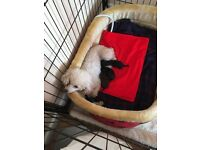 Toy pedigree poodle puppies
