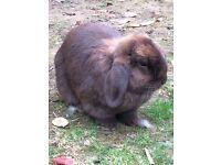 Pair of Chocolate Self Mini Lop Rabbits