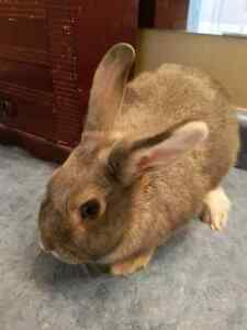 Male bunny lop mix $30