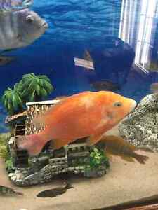 Dragons Blood cichlid 6-7""