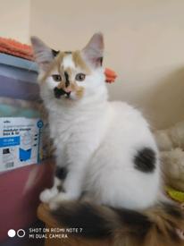 Beautiful fluffy kittens for sale (Breed Turkish Van)