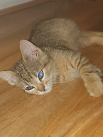 9 week old Female Bengal kitten ready to leave (mixed)