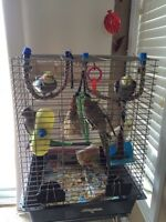 Beautiful cockatiels with birdcage toys food etc