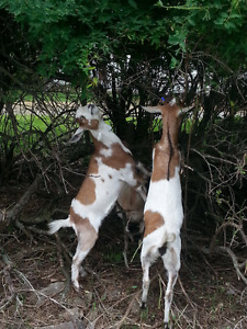 Have brush and tree branches piling up? -- Feed'em to Goats!