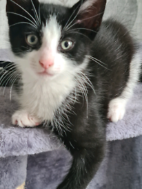 1x kittens black and white