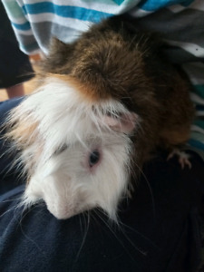 Guinea Pig | Small Animals in Hamilton | Kijiji Classifieds