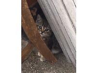 10 week old quarter persian kittens £60