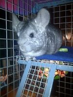 Loving Chinchilla''Gizmo'' needs a Chinchilla Family Home
