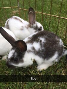 Mini Rex Cross Bunnies