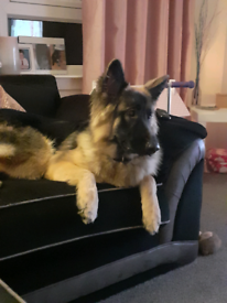14 month old german Sheppard for sale
