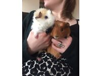 2 Male Guinea Pigs (Approx. 7 months) plus cage and accessories