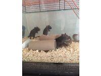 3 male baby gerbils
