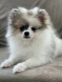 Pomeranian girl for sale