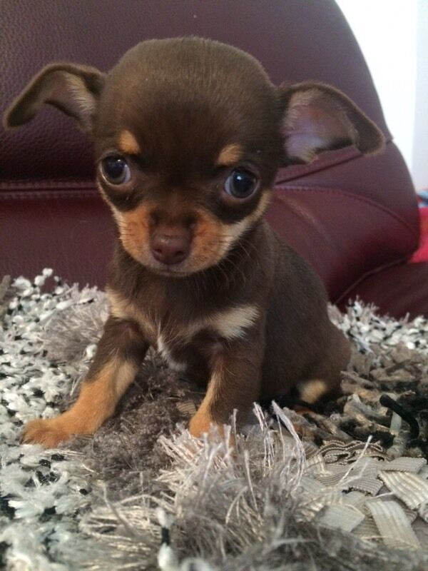 Kc Reg Chocolate Chihuahua In Airdrie North
