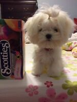 Teacup maltese male looking for a new home