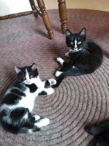 Kittens for adoption.  Chattons pour adoption
