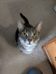Loving, playful American short hair cat needs a new loving home!