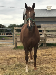 Lovely chestnut Mare for sale