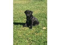 KC Registered Black Boy Pug Puppy