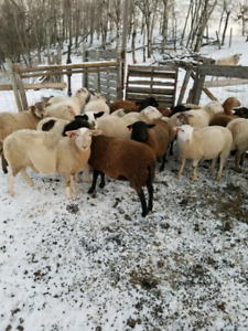 Katahdin Dorper cross ewe lambs for sale