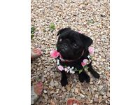 Female full pedigree pug