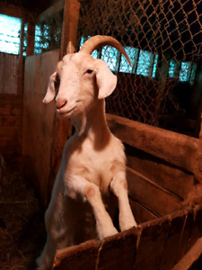 3 goats for sale