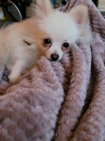 Pomeranian male kc registered 1 year old