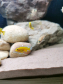 Malawi cichlid fish for sale