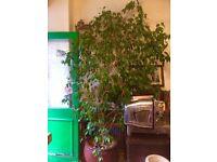 Lovely plant ficus benjamin full of energy