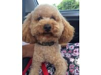 Red toy poodle male 2 years old