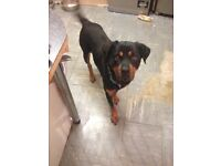 Female Rottweiler 5 years old