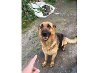 German shepherd x pups