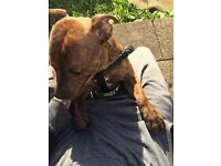 1 year old Staffordshire brindle all papers microchipped all injections and everything it needs