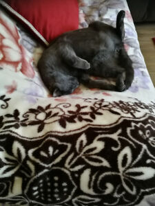 Lost Cat, large, short haired dark gray,