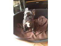 French bulldog MALE