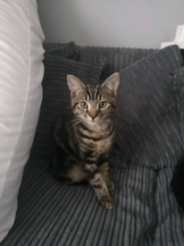 Beautiful male tabby kitten GONE PENDING COLLECTION
